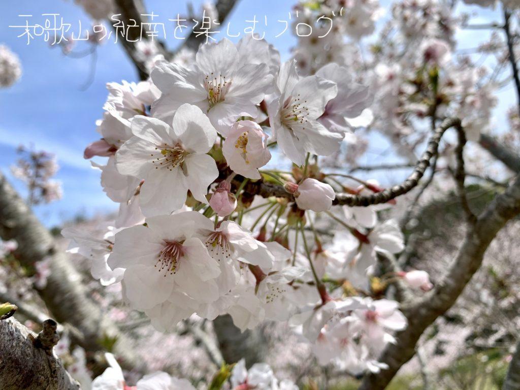平草原の桜